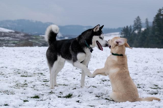 Hund und Husky