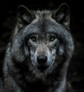 Wolf Blog Titel Bild