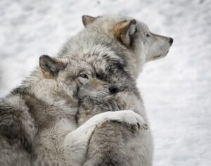 2 Wölfe miteinander